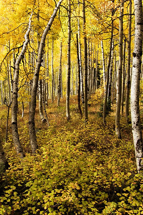 Into The Forest I Go, Aspen, Colorado, Autumn