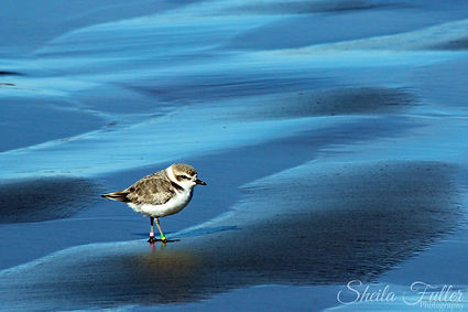 Snowy Plover, Blue, Reflection, Endangered, California