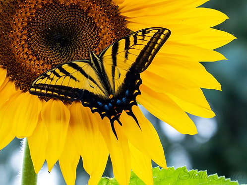 Sunflower Gift Card Collection
