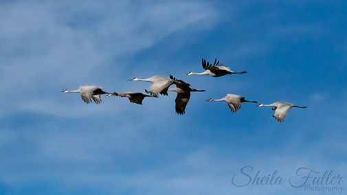 Sand Hill Cranes, Flock of Cranes, Cranes in Flight