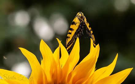 Lifted By Light, Sunflower, Swallowtail Butterfly, Butterfly