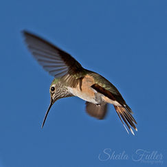 Hummingbird, Hummingbird in Flight