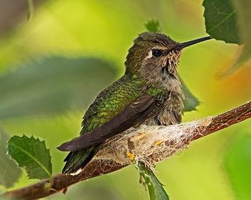 Safe, Hummingbird, Hummingbird Nest, Tuscon Botanic Gardens