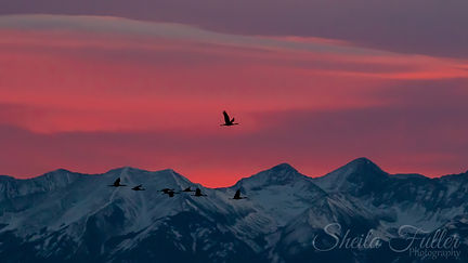 Be The Sky, Sandhill Cranes, Cranes, Alamosa, Monte Vista, Colorado, Sunrise, Birds in Flight
