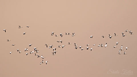 Time to Fly, Snowgeese, Flock of Geese, Geese in Flight