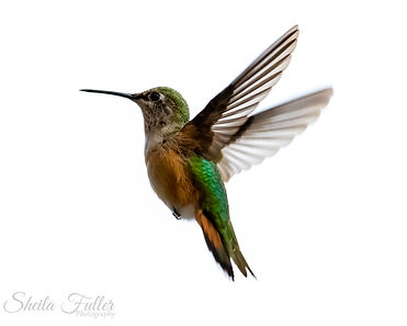 Serendipity, Hummingbird in Flight