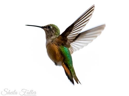 Hummingbird Gift Card Collection