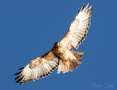 Hawk Redtail, Hawk in Flight