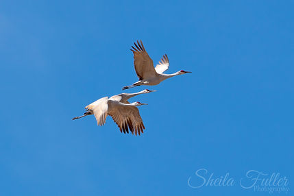 Sandhill Cranes, Cranes in Flight