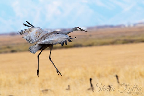 Sand Hill Crane, Alamosa, Monte Vista, Colorado