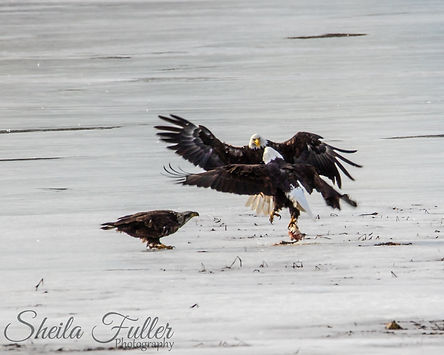 Bald Eagles on Ice