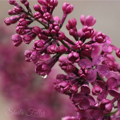 Garden Flowers, After the Rain, Lilacs,
