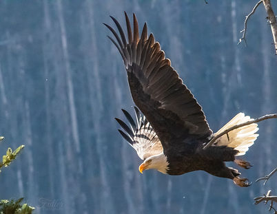 Bald Eagle in Flight, Creede, Colorado, Eagle, Bald Eagle, Colorado State Parks