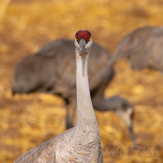 What?, Sandhill Crane, Crane, Portrait