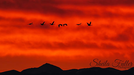 Perseverence, Sandhill Cranes, Cranes, Alamosa, Monte Vista, Colorado, Sunrise, Birds in Flight