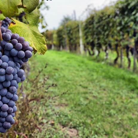 vineyard-grapes-home-slideshow.jpg