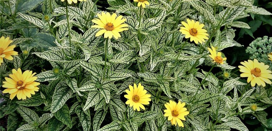Lorraine Sunshine Heliopsis