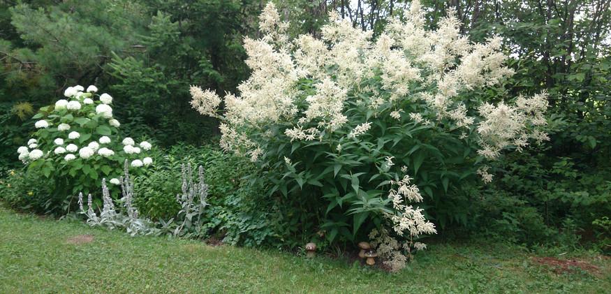 Persicaria -  Giant Fleeceflower
