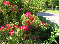 Roses at Mapleton