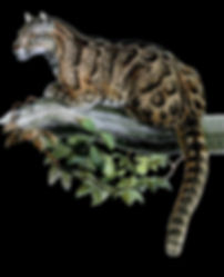 Leopard 3 black background.jpg
