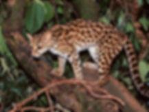 asian leopard.jpg