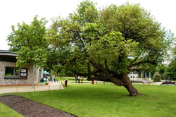 Forbury Gardens: The Mulberry Tree