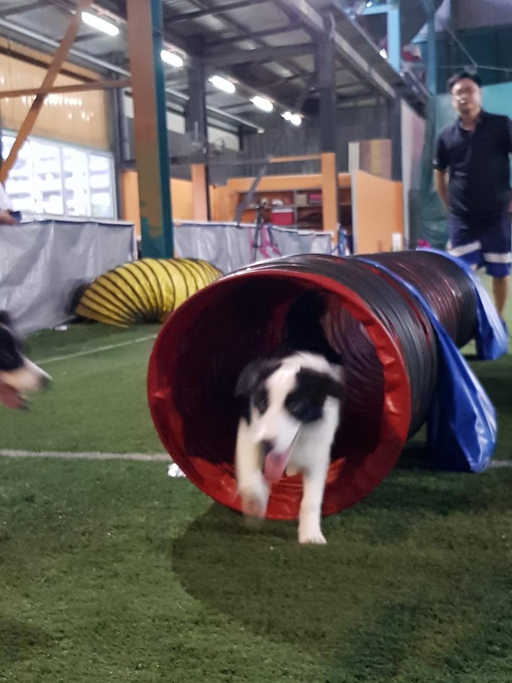 Dog Agility Singapore
