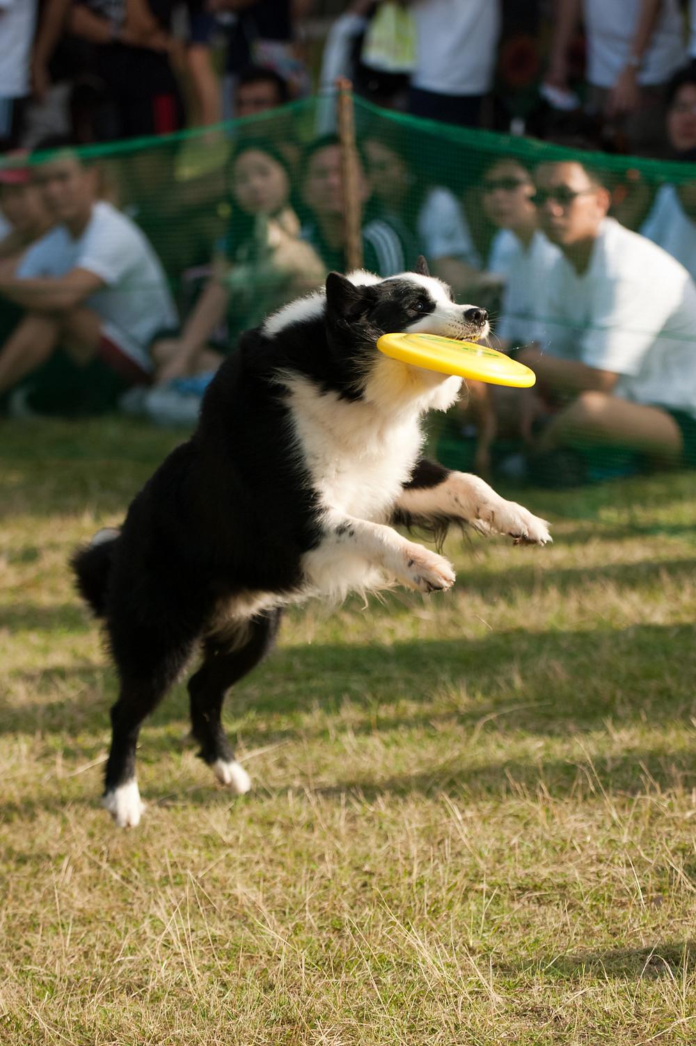 Dog Frisbee, Disc Dogging