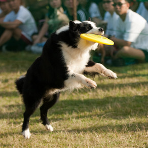 Dog Sports Training in Singapore - Part 2