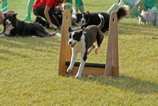Crazy K9 Flyball Team