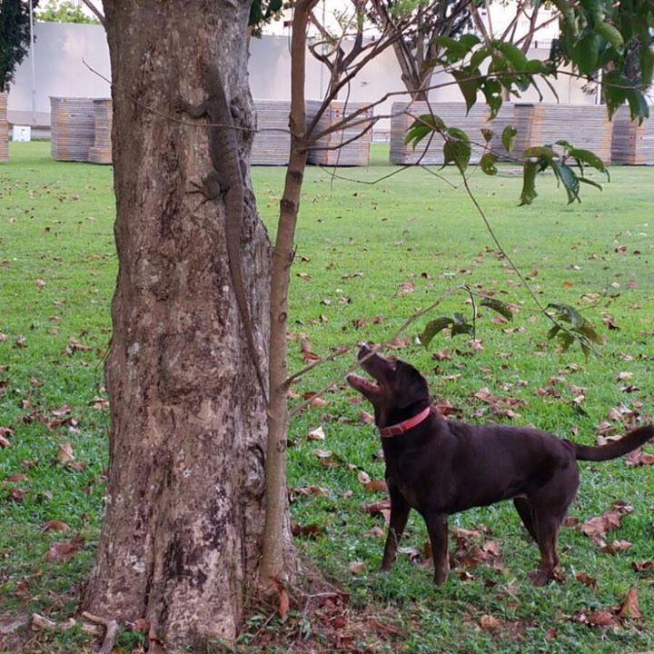 Labrador chasing Squirrel