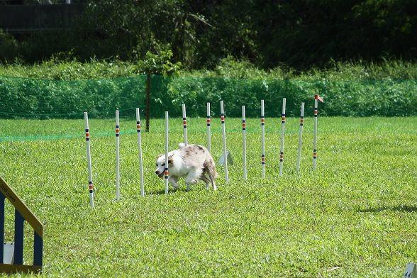 Dog Agility, Weaves-poles