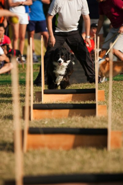 Buddy, Flyball Training