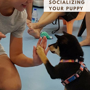 Podcast Alert - All About Socializing Your Puppy with Angie Tan from Puppylove