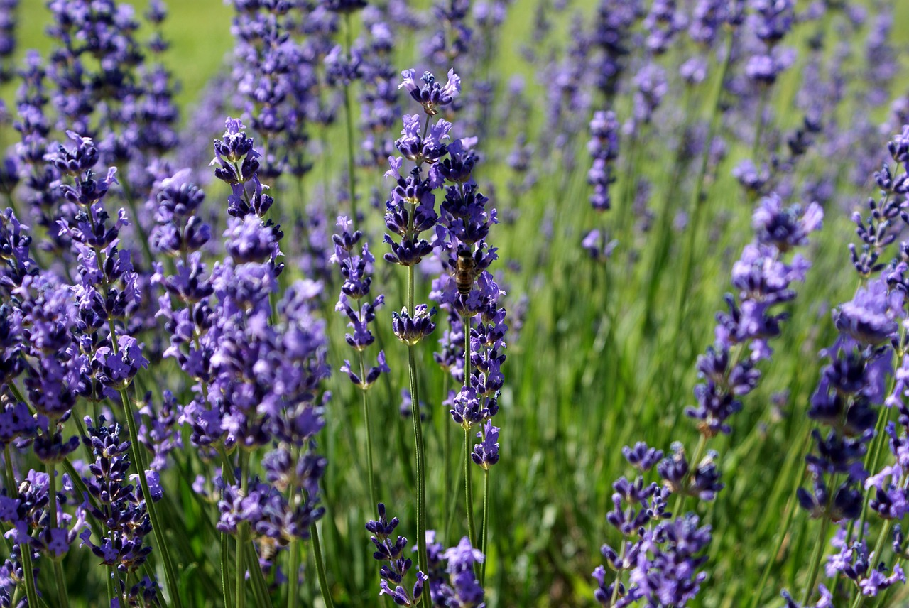 lavender-18316_1280.jpg