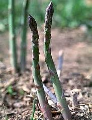 Asparagus stalk.jpg