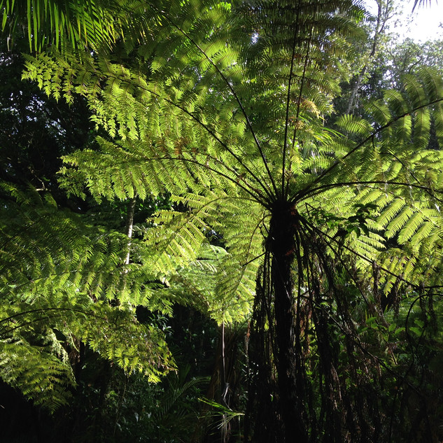 light through the fern canope - 1.jpg
