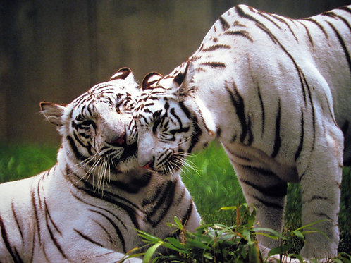 Beautiful White Tiger Couple