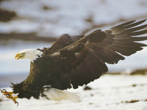 Bald Eagle in Attack Mode
