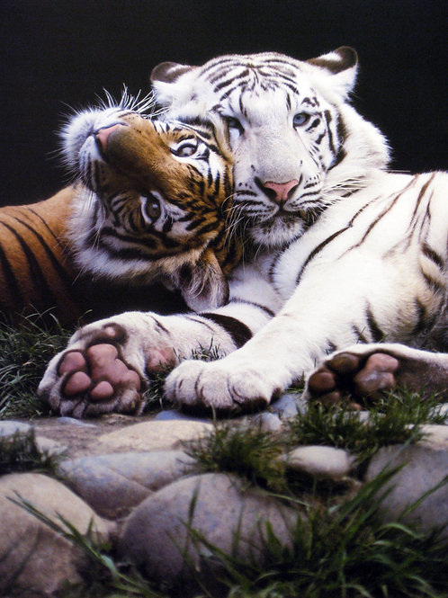 Magnificent Tiger Couple
