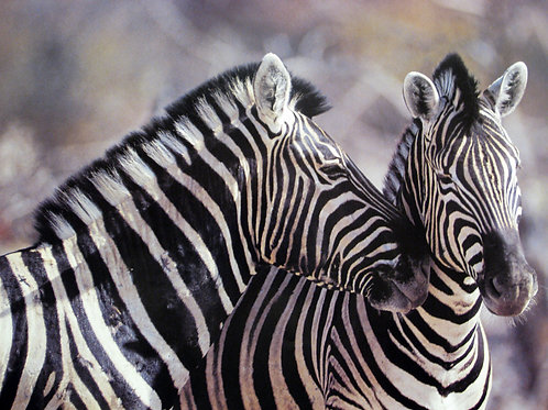 Cute Zebra Couple