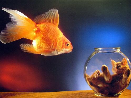 Goldfish v.s. Gold Kitten