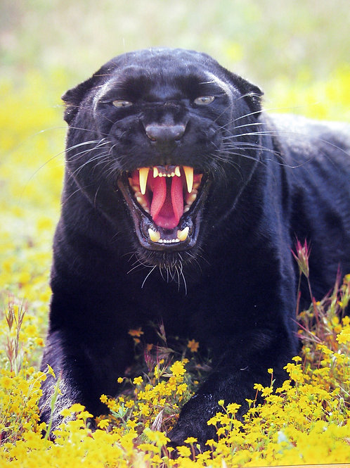 Ferocious Black Jaguar