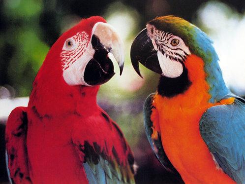 Parakeets Inlove