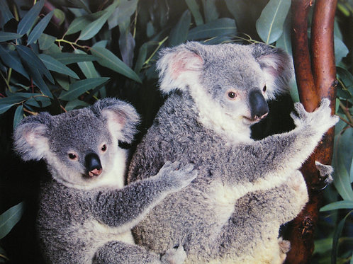 Cute Koala Couple