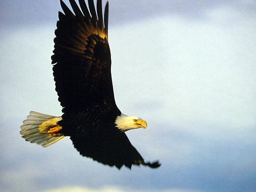 American Bald Eagle Gliding
