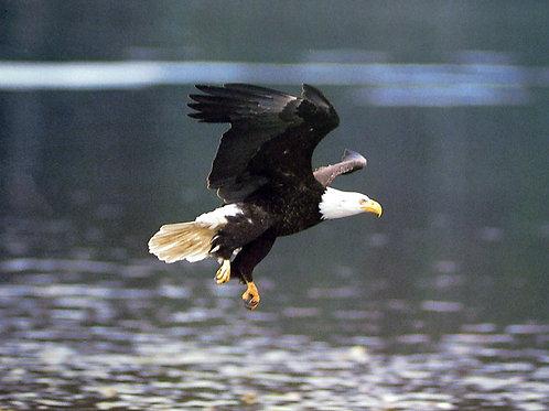 Bald Eagle Flying