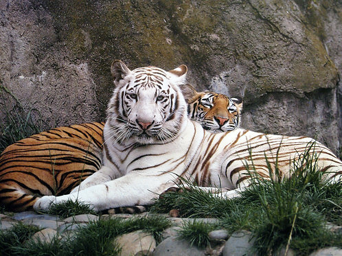 Cuddling Tiger Couple