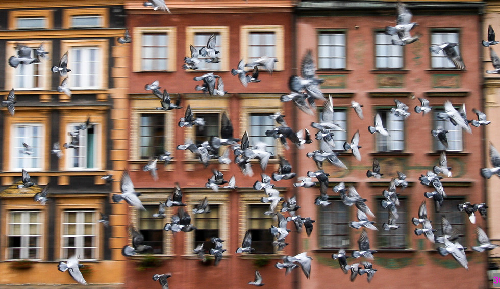 30-2_Flying pigeons