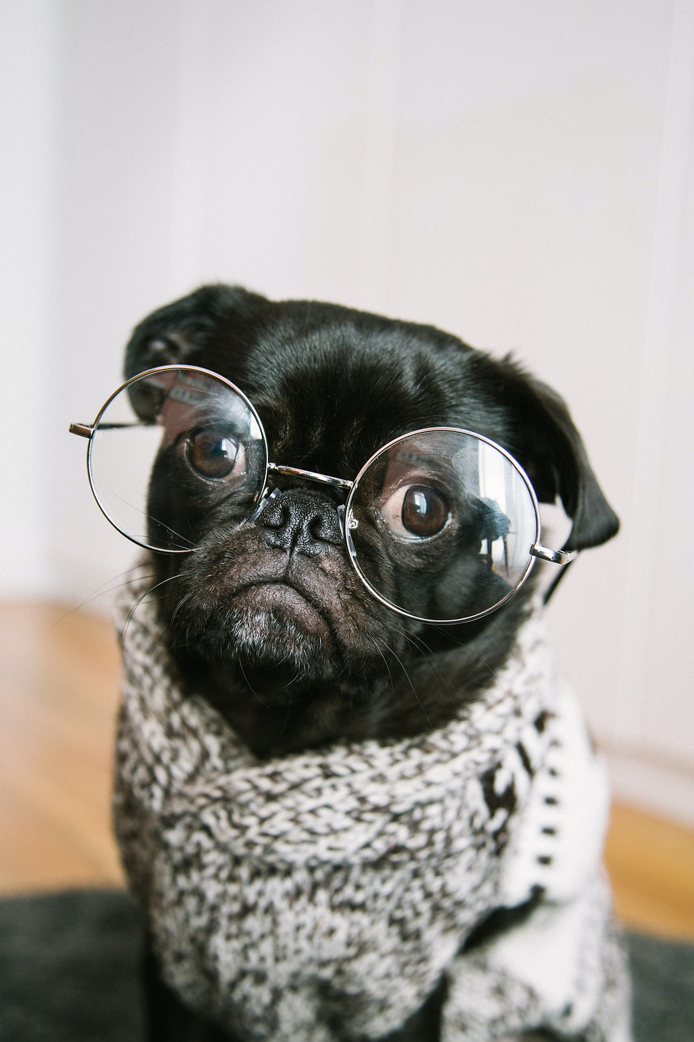 A pug with glasses